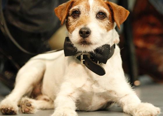 O cãozinho Uggie, de O Artista em tapete vermelho do filme em Los Angeles (31/1/2012)